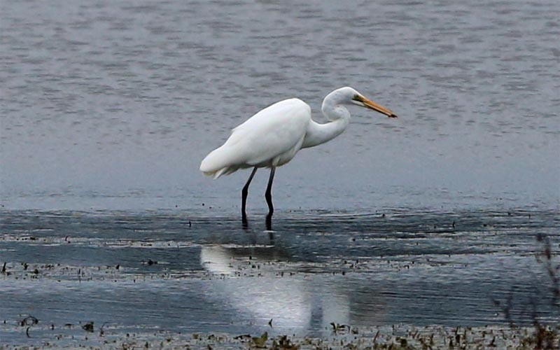 white-heron