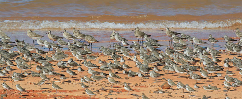 Broome waders