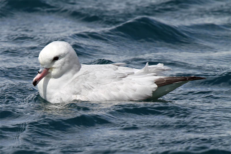 Fulmar Mana Is 2009-12-06