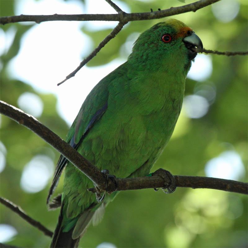 OF Parakeet Blumine 2013-03-02
