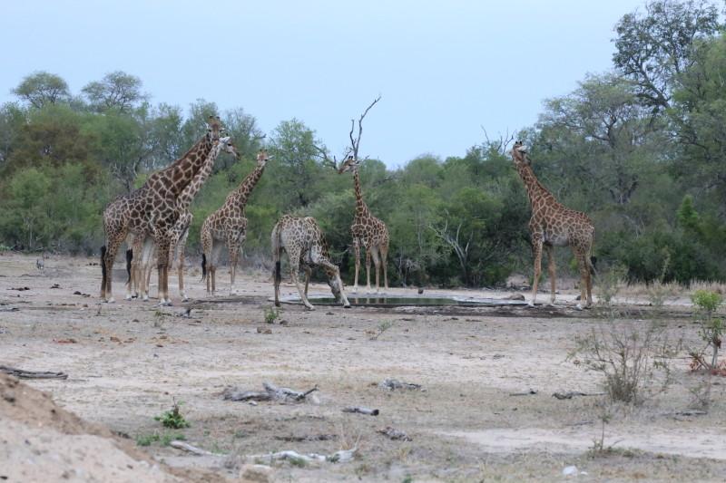 001 Giraffes