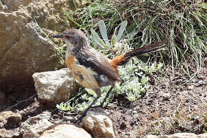 Drakensburg Rockjumper