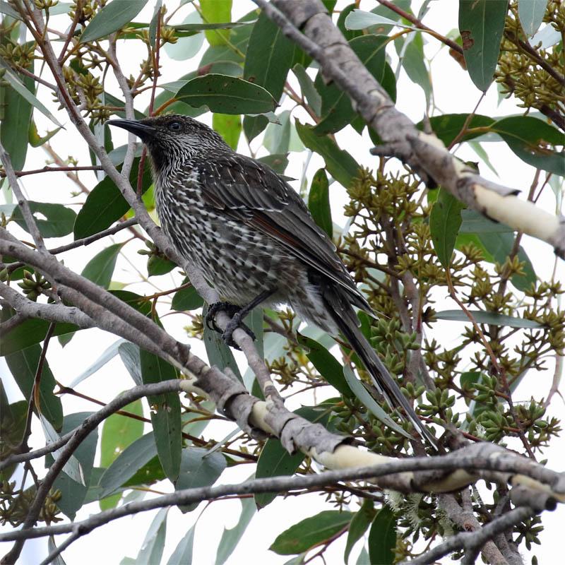 littlewattlebird