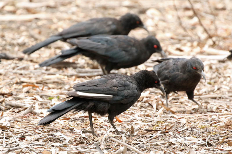 whitewingedchough