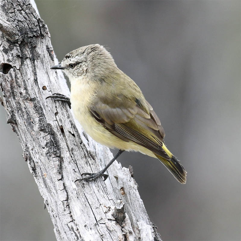 yellowrumpedthornbill