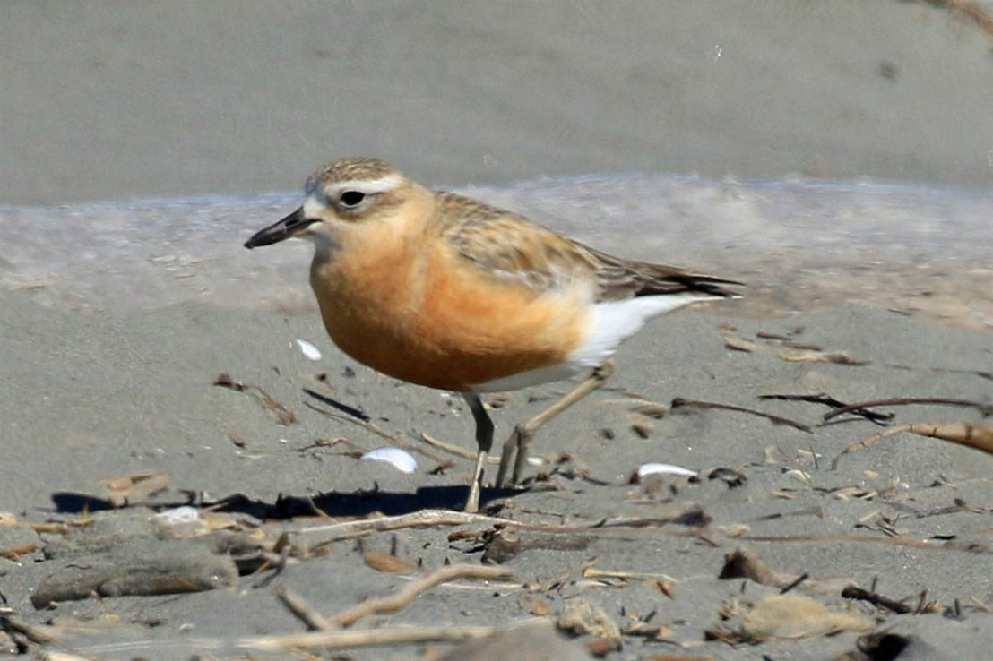 NZ Dotterel Waikanae Beach 21 Sep 2019 1st.jpg